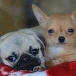チワパグ(チワワとパグ)~見た目の大きさや性格、子犬の価格や寿命は?