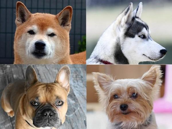 立ち耳(プリックイヤー)の犬の犬種