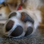 犬の肉球の役割~ニオイの秘密から肉球便利グッズの口コミレビュー