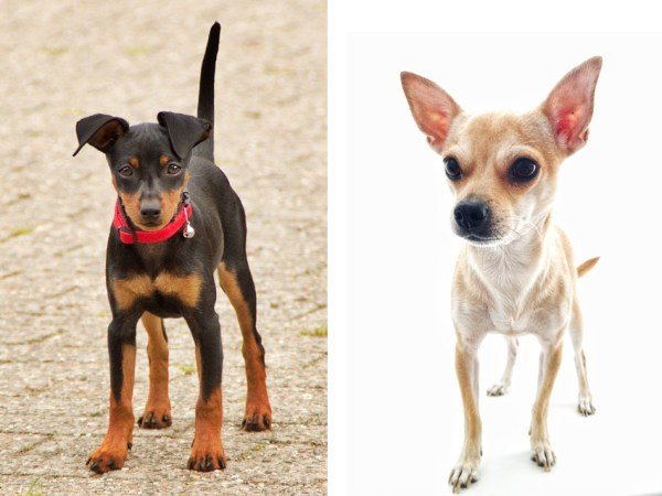 チワピン(チワワとM・ピンシャーのミックス犬)