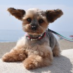 珍しい種類のミックス犬~ハーフ犬の雑種強勢やメリットとデメリット