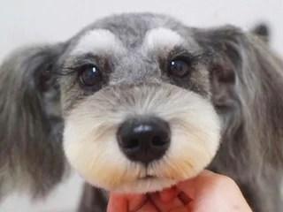 チワプー、チワワとプードルのミックス犬