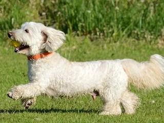 ダップー、ダックスフンドとトイプードルのミックス犬