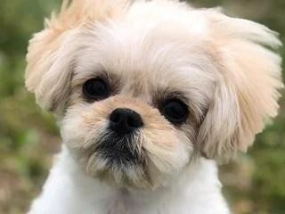 ペキプー、ペキニーズとトイプードルのミックス犬