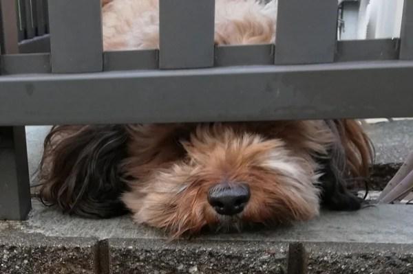 保護犬としてミックス犬を飼うという選択~現在老犬になった我が家の愛犬