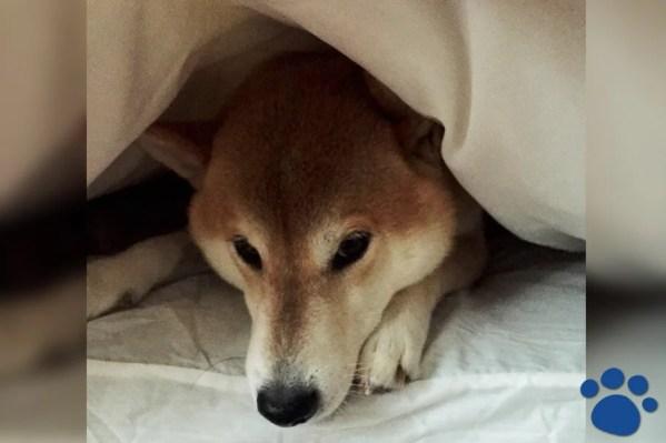 一人暮らしの私が柴犬を飼った理由~犬中心の生活はメリットが多く楽しい