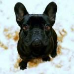 私が初めて犬を飼った時からの気持ちの変化~フレブルの癒やしに感謝の日々