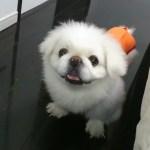 ワガママなペキニーズの噛み癖を直した方法~初めての室内犬で苦労した話