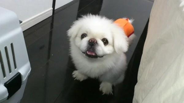ワガママな愛犬の噛み癖を直した方法~初めての室内犬でしつけや苦労した話