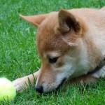 幼いころからの反対されていた犬を飼う夢~念願の柴犬を飼えて幸せです