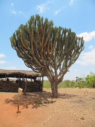 kaktus-lundazissa