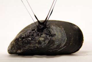Mussel byssus enables mussel to surfaces even in water: Credit: Tara Fadenrecht, Niels Holten-Andersen, image via sciencedaily.com