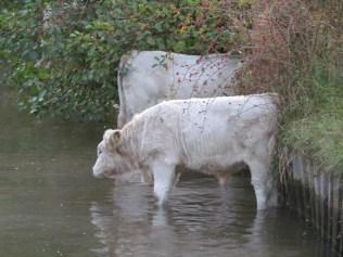 paddling cows