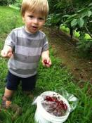 kid picking cherry