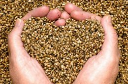 Did you know that commercial hemp production is still federally illegal in the US? – ChicagoNow (blog)
