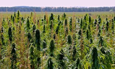 End of reefer madness could clear air for Canadian hemp