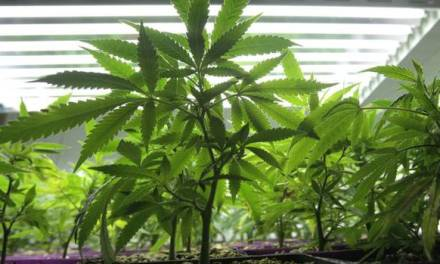 Marijuana producer jumps 356% as Canada's investor pot frenzy intensifies – The Globe and Mail