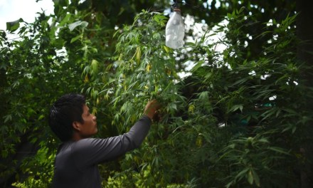 Colombia's medical marijuana industry could become bigger than coffee and flower business