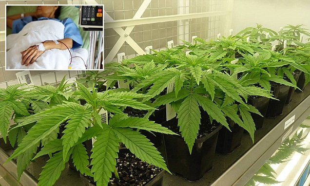 Australia's first medicinal cannabis imported from Canada – Daily Mail
