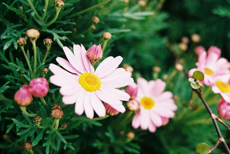 業務用フィルムで撮った花