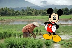 Laos rice field
