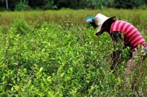 Colombia to adopt Thailand's rural anti-narco crops programme