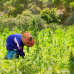 Thailand legalises medical use of marijuana, a first in Southeast Asia