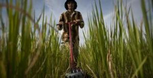 Cambodia rice farming