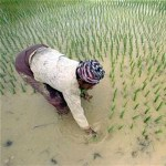 Laos seeks to export rice to Brunei