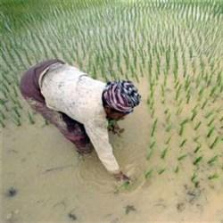 Laos rice