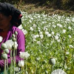 Opium production surges in Myanmar (poppy field map)