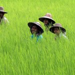 Myanmar rice exports could double by 2020