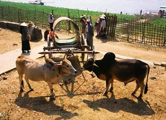 Shan Myanmar Rural Ox Cart Transportation