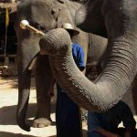 Thailand's biggest band: The Elephant Orchestra (video)