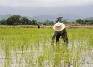 Losses from Thai rice subsidies exploding