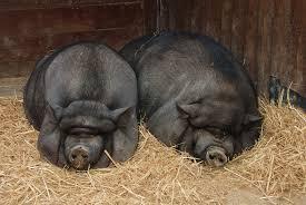 Vietnam pig