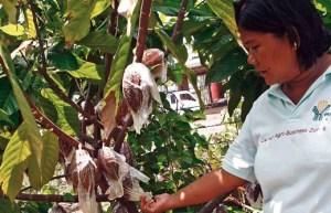 cocoa trees