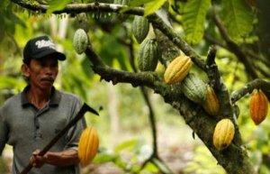 cocoatree