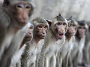 Macaque monkeys sit in a row in the town of Lopburi