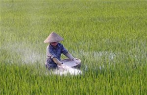 A farmer throws fertilizer on a rice paddy field in Dong Xung village