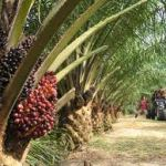 Malaysian palm oil reaches high in exports