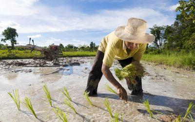 Thai rice industry under heavy pressure