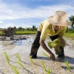rice+paddy