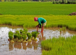 Cambodia's rice exports surge