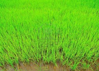 Rice Field In Sukhothai Thailand