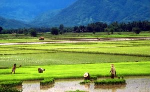 thai-rice-farm