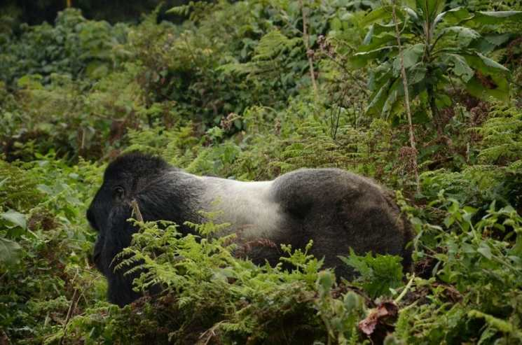 In Search of the Last Mountain Gorillas of Volcanoes National Park, Rwanda
