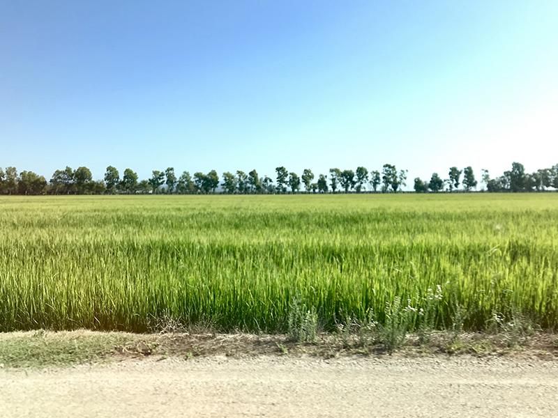 deltebre campos de arroz