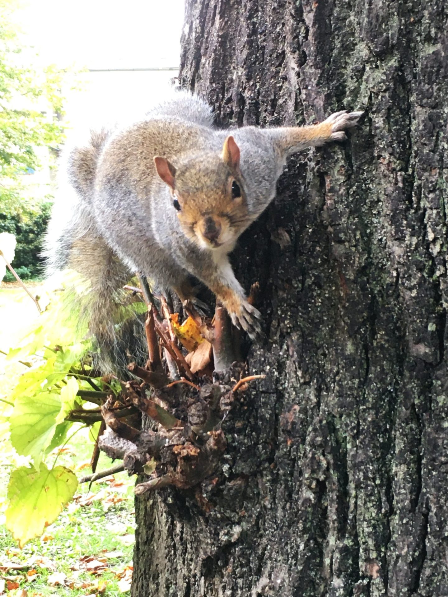 Close-up photograph of a squirrel climbing a tree, looking into the lens of the camera.