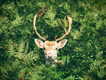 A photo of a deer in green bushes, where we just see his head and antlers.